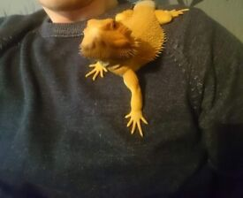 Male 9 month old bearded dragon with viv