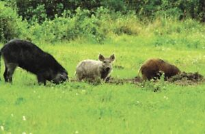 Refuge animaux nous adoptons  cerf sanglier daims cochon sauvage