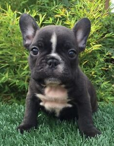 Pure Breed French Bulldog Puppies Adelaide CBD Adelaide City Preview