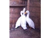 3 aylesbury ducks for sale