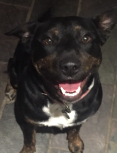 Staffy border collie x Bargo Wollondilly Area Preview
