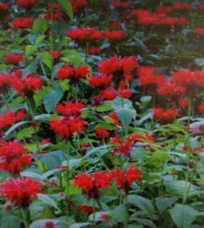 Bee Balm Red  Flower Seeds