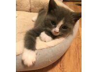 Beautiful Persian x Kittens