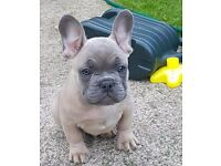 Reduced Lilac fawn french bulldog last boy best seen around