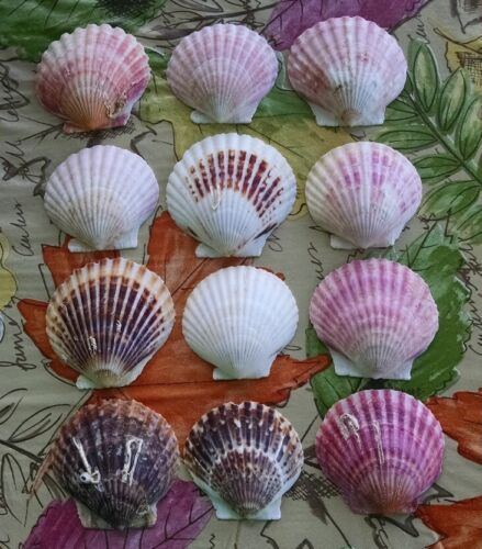 12 SCALLOP SHELLS - FOR BAKING OR CRAFTING - SEASHORE HOME DECOR - LOT #1