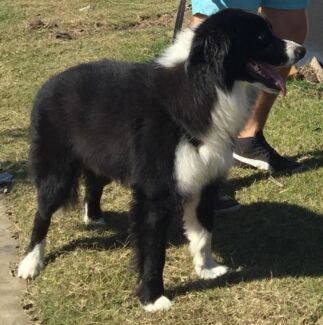 Gorgeous 2 year old Pure Bred Border Collie Logan Central Logan Area Preview