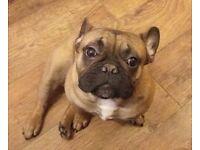 French bulldog male
