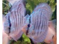 Pair Blue Discus