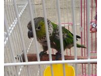 Green Cheek Conure 3 Month Old