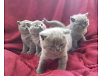 Blue british shorthair kittens champion blood line