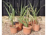 YUCCAS 6 HARDY TROPICAL LOOKING EASY GROW PLANTS, CAN DELIVER