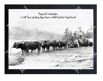 Historic Maynard, Washington 6 Bull Team Logging Postcard