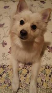 "Young Male Dog - Pomeranian-Spitz: ""Charlie"""