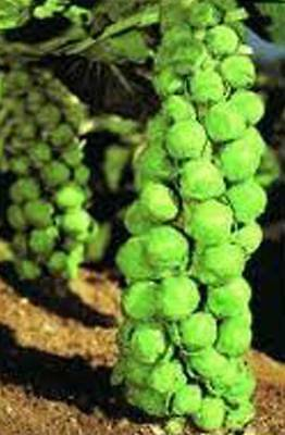 Brussel Sprouts Seed  Churchill  Heirloom  Organic  Non Gmo  25  Seeds  Early