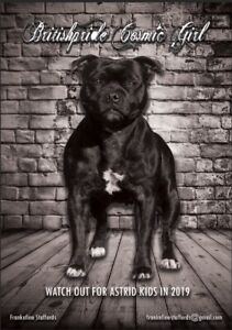 Staffy pup Staffordshire Bull Terrier