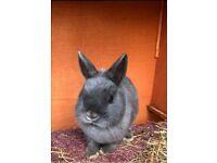 Rabbits - Lop and Netherland dwarfs