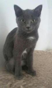 "Young Female Cat - Domestic Short Hair: ""AJ"""
