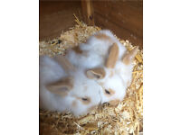 3 adorable baby lionheads for sale
