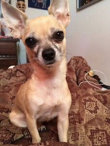 MISSING CHIHUAHUA!!!