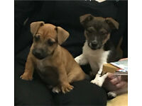2 Miniture Jack Russell Puppies for Sale