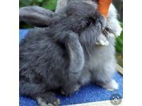 Cute Mini lop baby rabbits