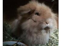 Orange Doe Mini Lion Lop