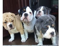 Old English Bulldog puppies for sale- Ready to leave now