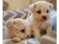 Dogs for sale in Kilmarnock, East Ayrshire - Gumtree