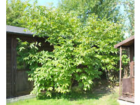 Two Walnut trees - free!