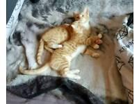 Beautiful bengal cross female kitten