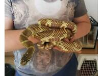 Male king snake free to good home