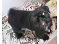 Shug puppy female pug cross shih tzu