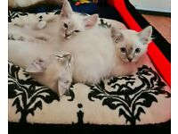 Ragdoll kittens blue colourpoint tabby & seal available