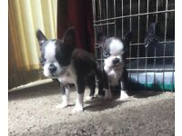 KC Reg Boston terriers , red gene carriers