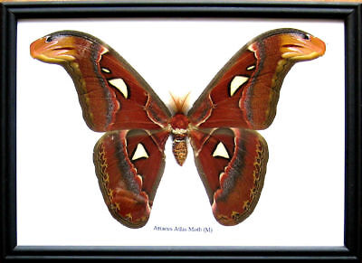 Real Bug Giant Atlas Moth M Butterfly Insect Display Taxidermy Beetle in Frame (Giant Bug)