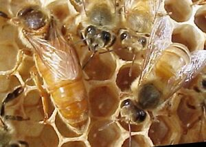 Bee Keeping honey - flow hive intro !! hands on course bees Avalon Pittwater Area Preview