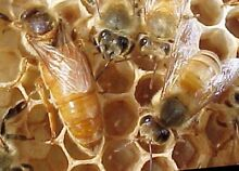 Beekeeping for beginners - hands on course! Sydney Training Class Lara Outer Geelong Preview