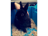 2 year old black dwarf rabbit. buck