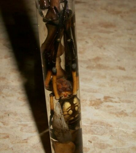 Estate Find Large ARGIOPE Orb Weaver Spider in Test Tube preserved very old