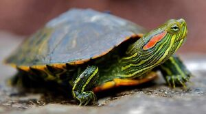 Looking for: red ear slider turtle