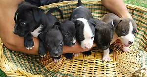 Pure english x pure american staffie puppies Berkshire Park Penrith Area Preview