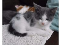 Beautiful Grey and White Kitten.