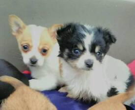 Chorkie puppies for sale8 week old
