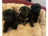 3 beautiful yorkiepoo puppys