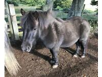 Shetland Pony 9 YO Pure Bred Gelding - Companion