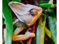 Male Yemen/Veiled Chameleon