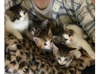 Fluffy 5 kittens