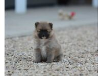 Pomeranian Pedigree Puppies, Beauitful fluffy babies