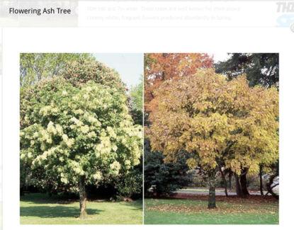 Flowering Ash Trees x 2 Pots