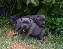 Pure Blue English Staffy pups for sale Chadstone Monash Area Preview